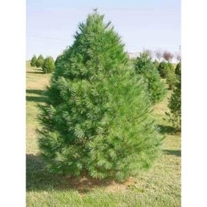 eastern_white_pine_tree__94966-400x400__41581__39912.1512125781