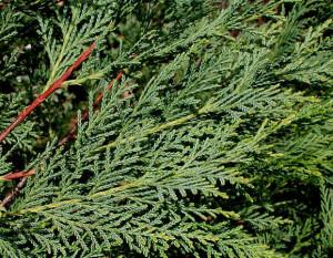leyland_cypress_tree_l_lg